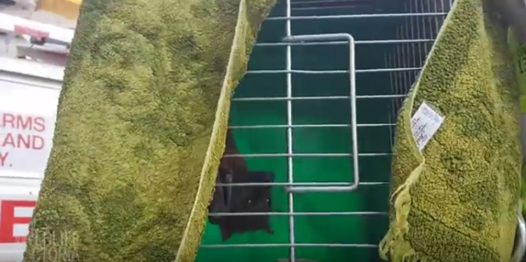 zorrillo-volador-rescatado4