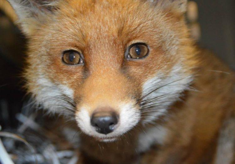 Afrodita Fox 6