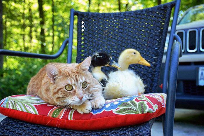 Amistad-gato-perro-patos 13