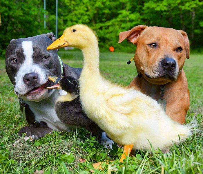 Amistad-gato-perro-patos 7