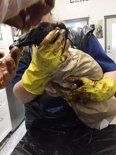 Aves rescatadas de derrame de petroleo 1