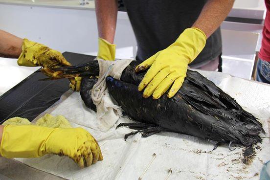 Aves rescatadas de derrame de petroleo 2