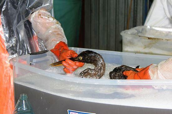 Aves rescatadas de derrame de petroleo 4
