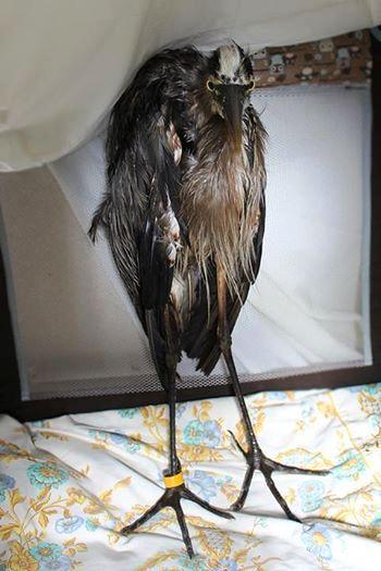 Aves rescatadas de derrame de petroleo 5
