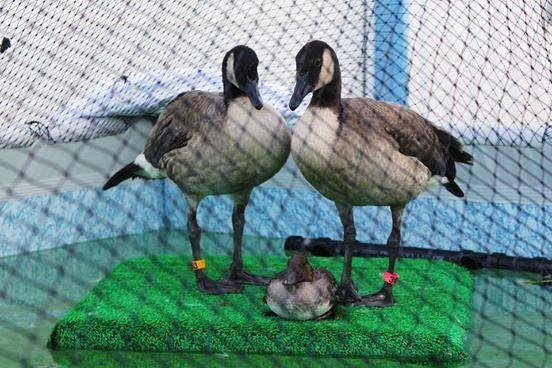 Aves rescatadas de derrame de petroleo 7