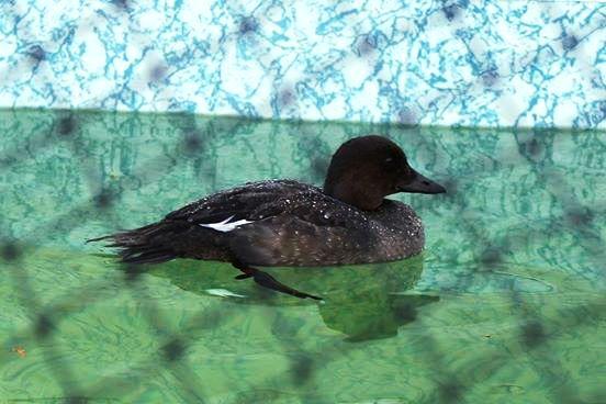 Aves rescatadas de derrame de petroleo 8