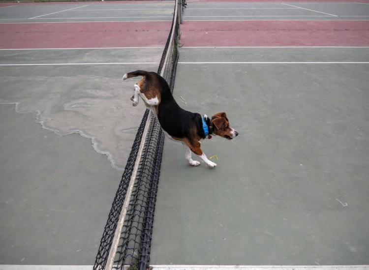Beagle-gordo-viejo 11