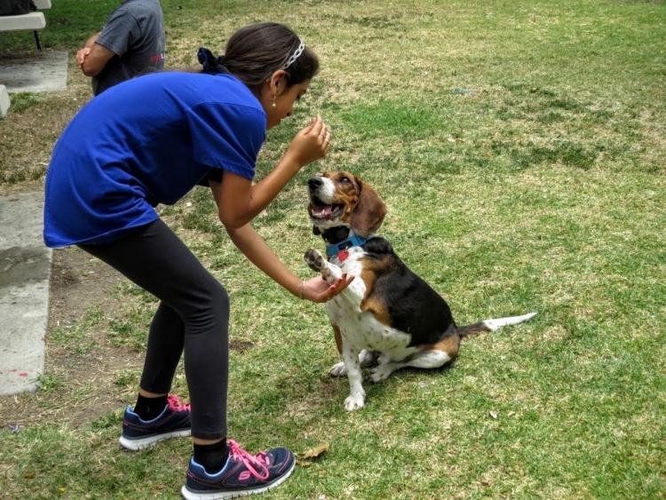 Beagle-gordo-viejo 12