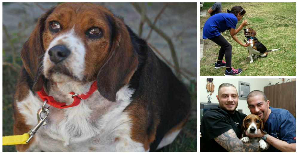 Beagle-gordo-viejo-portada
