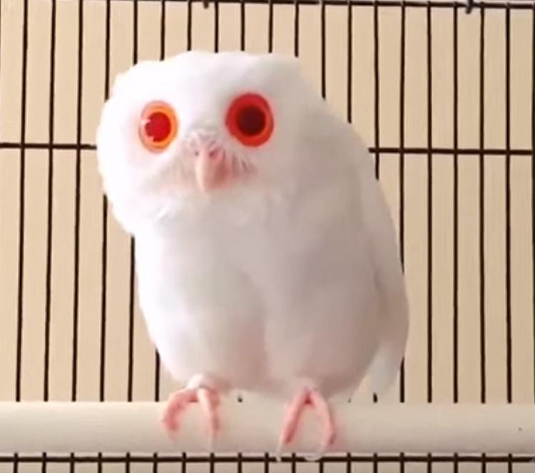 Buho albino espectaculares ojos rojos 1