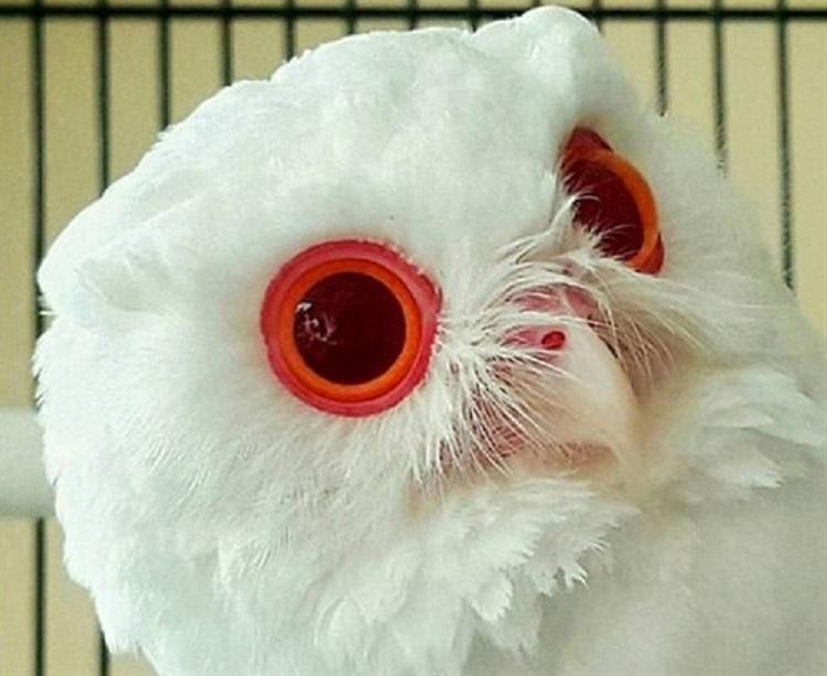 Buho albino espectaculares ojos rojos 2