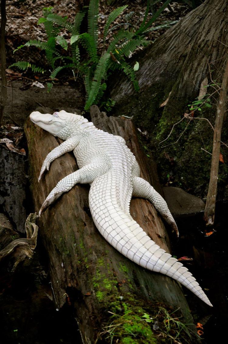 Buho albino espectaculares ojos rojos 6