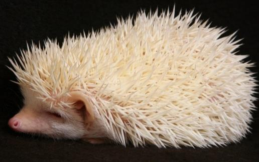 Buho albino espectaculares ojos rojos 9