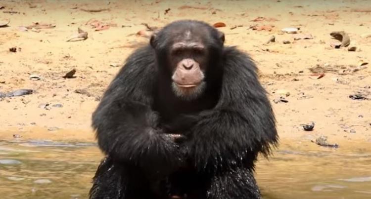 Chimpances-abandonados-Liberia 1