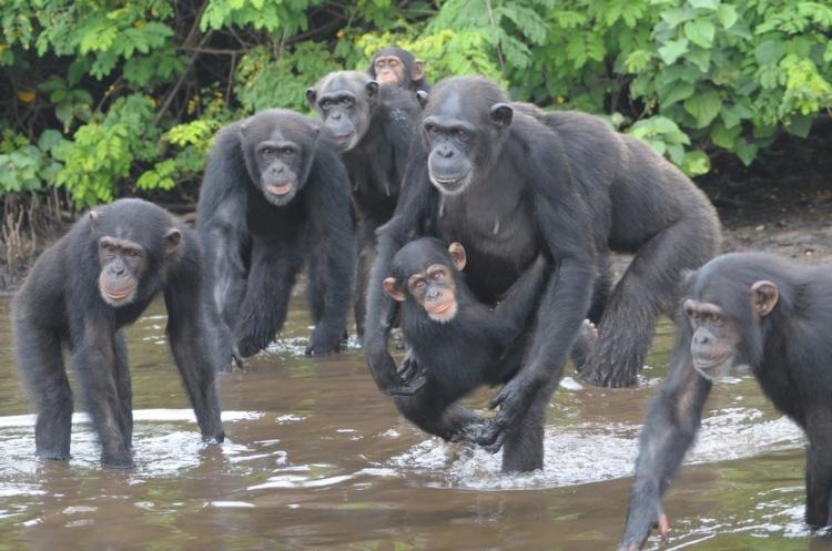 Chimpances-abandonados-Liberia 2
