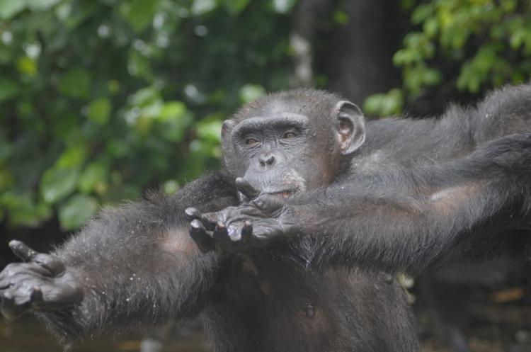 Chimpances-abandonados-Liberia 4