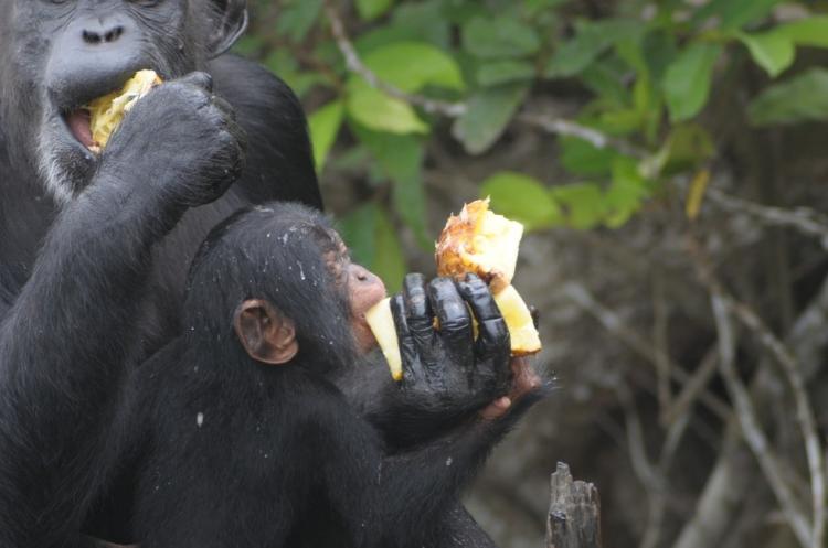 Chimpances-abandonados-Liberia 5