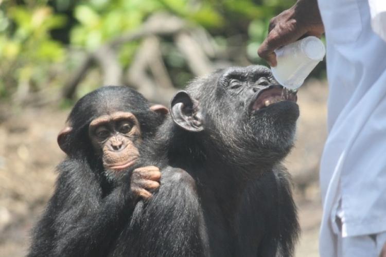 Chimpances-abandonados-Liberia 6