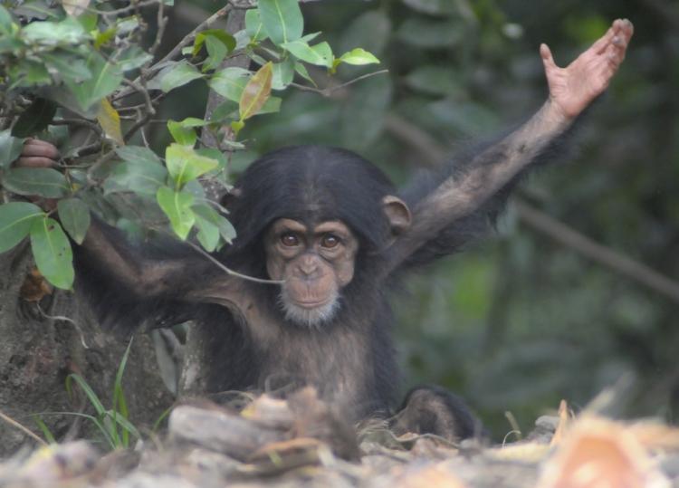 Chimpances-abandonados-Liberia 7