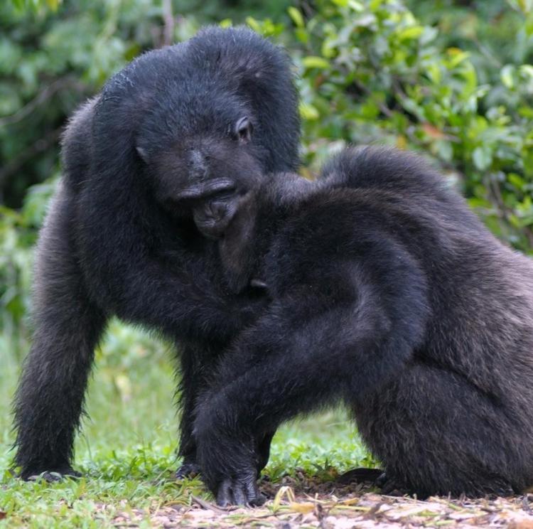 Chimpances-abandonados-Liberia 8