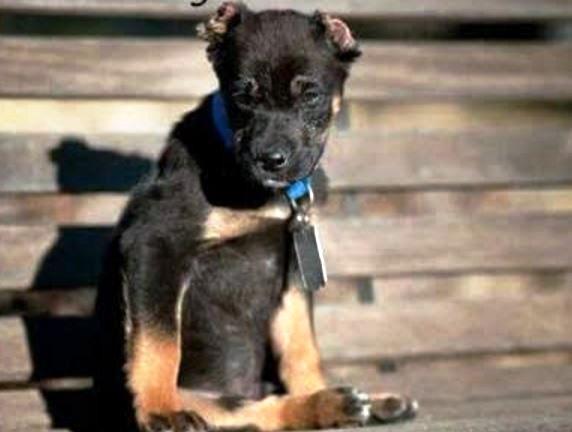 Cortar las orejas de los perros muy mala idea 4