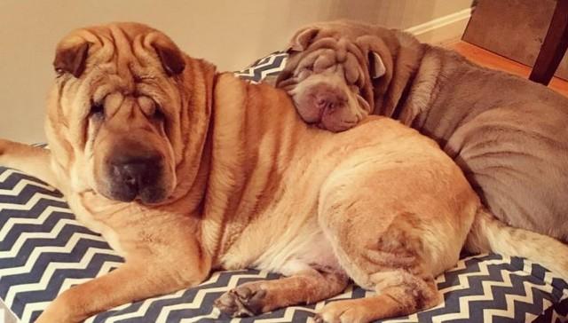 Dos perritos con vidas de tragedia distintas se conocen al ser adoptados 11