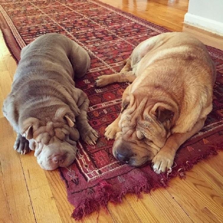 Dos perritos con vidas de tragedia distintas se conocen al ser adoptados 13