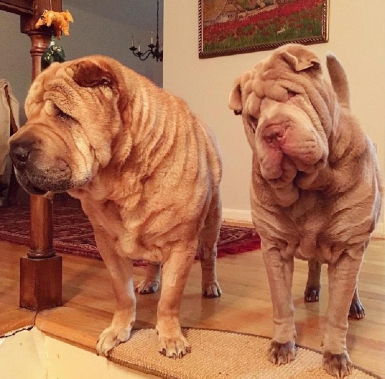 Dos perritos con vidas de tragedia distintas se conocen al ser adoptados 15