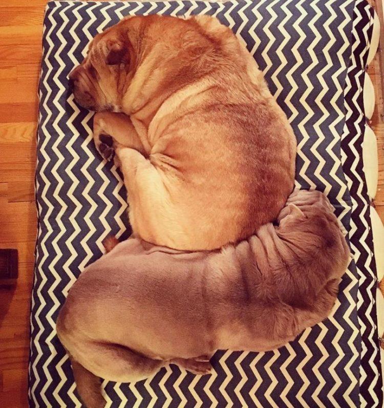 Dos perritos con vidas de tragedia distintas se conocen al ser adoptados 16