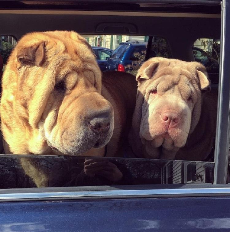 Dos perritos con vidas de tragedia distintas se conocen al ser adoptados 8