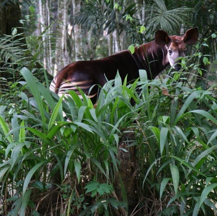 El-lenguaje-del-okapi 7