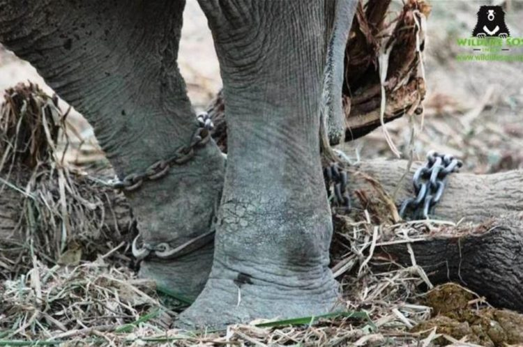 Elefante-con-menos-suerte-del-mundo 2