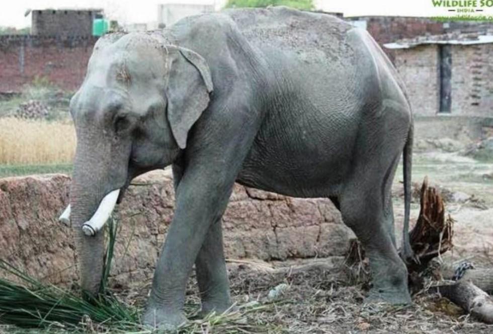 Elefante-con-menos-suerte-del-mundo 5