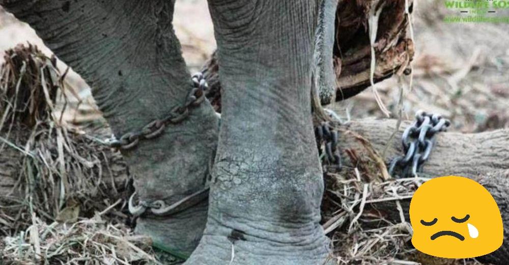 Elefante-con-menos-suerte-del-mundo-portada