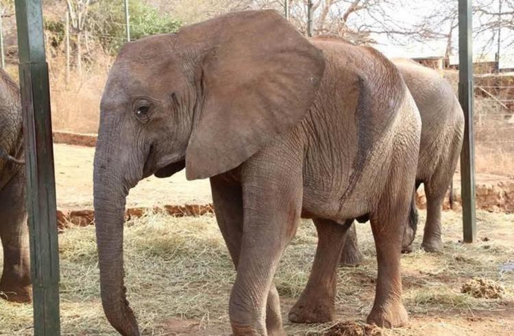 Elefante-envenenado 1