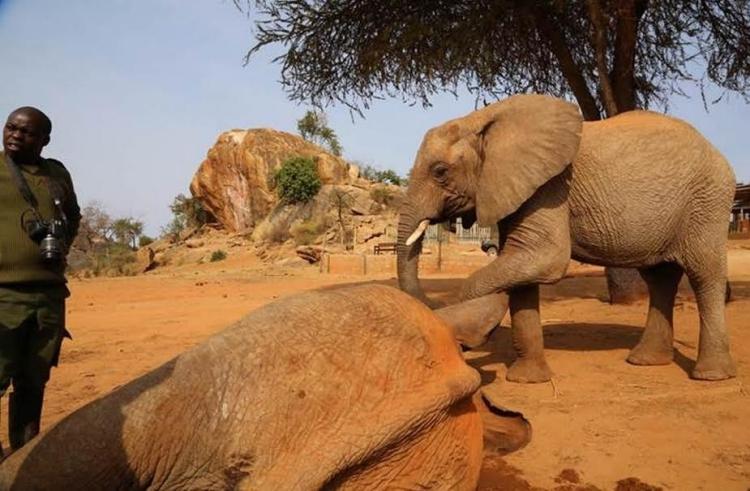 Elefante-envenenado 5