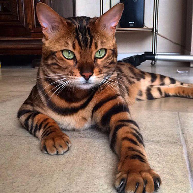Gato-bengali-Thor 2