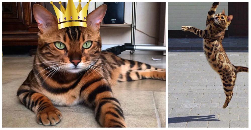 Gato-bengali-Thor-portada