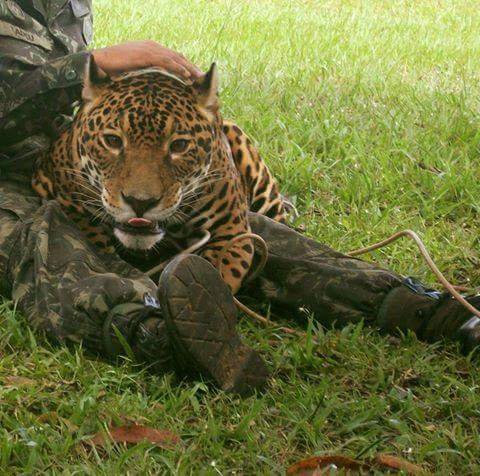 Juma-jaguar-Juegos-Olimpicos-Rio-2016-7