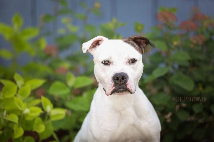 Max perro de pelea demuestra que es posible cambiar y ser sociable 1