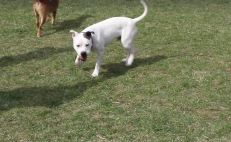 Max perro de pelea demuestra que es posible cambiar y ser sociable 3