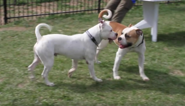 Max perro de pelea demuestra que es posible cambiar y ser sociable 5