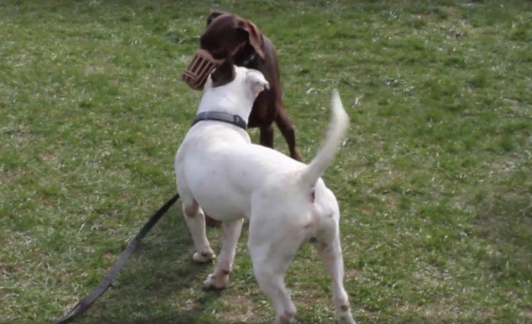 Max perro de pelea demuestra que es posible cambiar y ser sociable 6