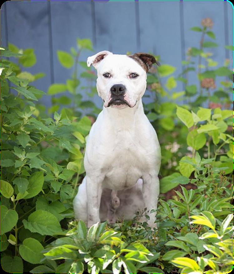 Max perro de pelea demuestra que es posible cambiar y ser sociable 8