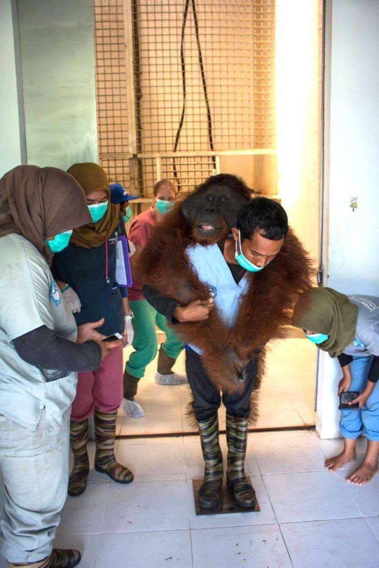Orangutan no sabe lo que le espera 1