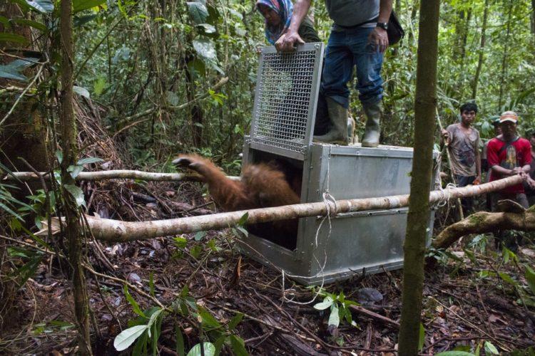 Orangutan no sabe lo que le espera 11