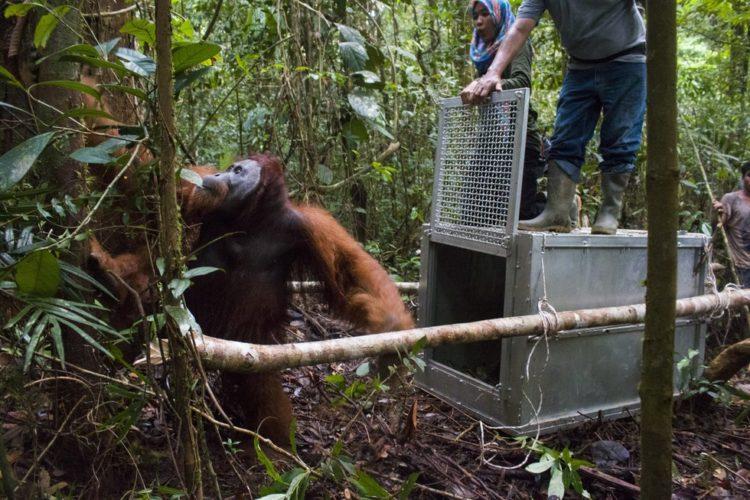 Orangutan no sabe lo que le espera 12