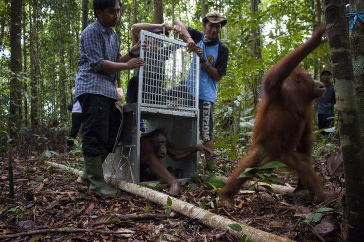 Orangutan no sabe lo que le espera 13