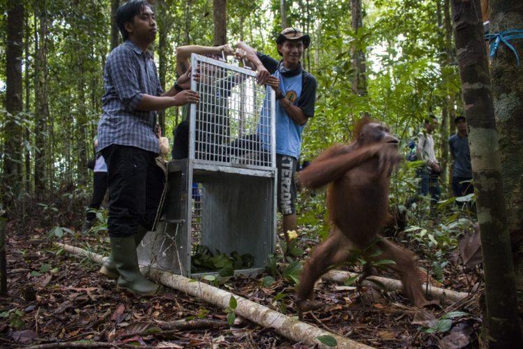Orangutan no sabe lo que le espera 14