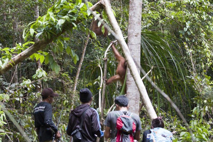 Orangutan no sabe lo que le espera 15